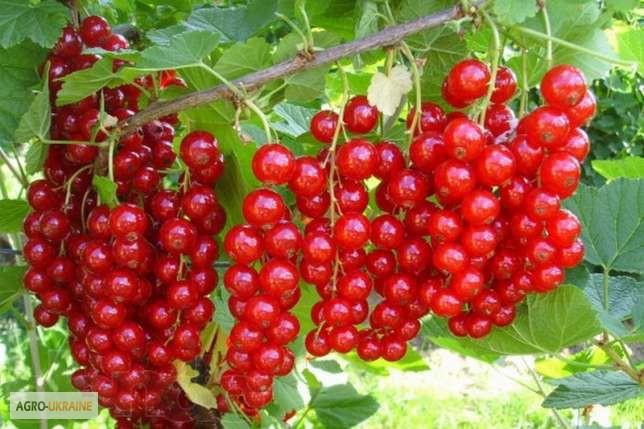Как получить в десять раз больше урожай малины и смородины!Советы на вес золота.