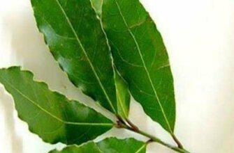 Этот лист — это благословение природы: борьба с бессонницей, высоким кровяным давлением, сахаром и многим другим!