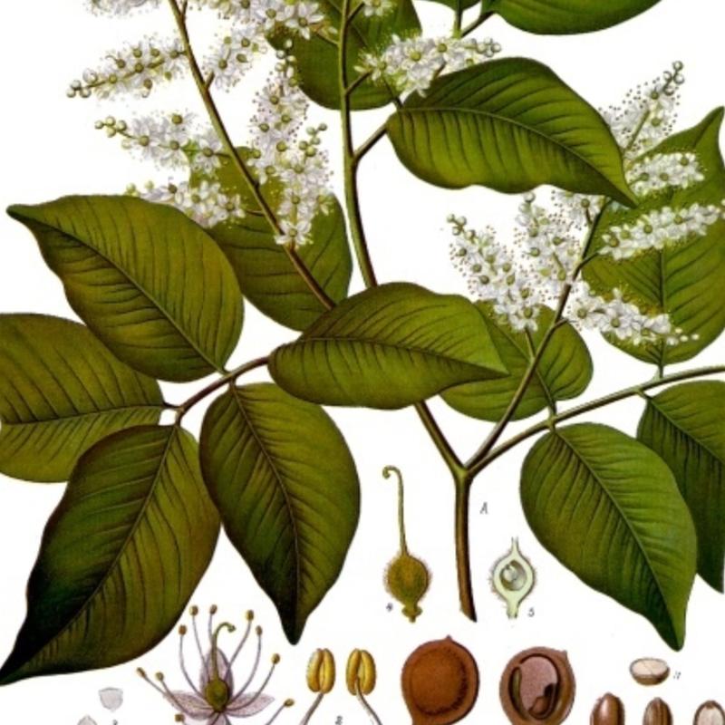 Масло копайбы: Мощное противовоспалительное средство